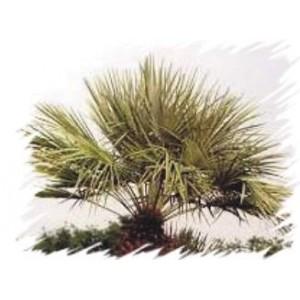 Szorstkowiec Fortunego, Palma mrozoodporna (Trachycarpus Fortunei) sadzonki 3-4 liście