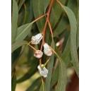 Eukaliptus Gałkowy (Eucaliptus Globulus) sadzonki