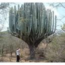 Kaktus Kolumnowy (Pachycereus) nasiona