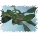 Eukaliptus Górski (Eucaliptus Gunii) nasiona