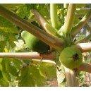 Papaja Owocująca (Carica Papaya) nasiona