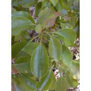 Cynamonowiec Kamforowy (Cinnamomum Camphora) sadzonki