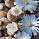 Żywe Kamienie Szczęścia (Lithops - Living Stones) nasiona