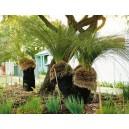 Drzewo Trawiaste (Xanthorrhea Australis) nasiona