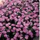Niezapominajka Różowa (Myosotis Sylvatica) nasiona