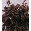 Bazylia Czerwona (Ocimum Basilicum) nasiona