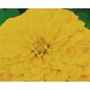Cynia Daliowa żółta (Zinna Elegans) nasiona