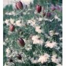 Czarnuszka Damasceńska (Nigella Damscena) nasiona