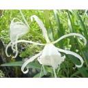 Błonczatka Biała (Hymenocallis Ismena) cebulki
