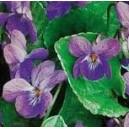 Fiołek wonny (Viola Odorata) nasiona