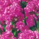 Firletka Smółka (Lychnis Viscaria) nasiona