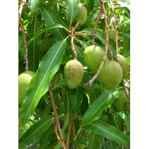 Mango (Mangifera Indica) sadzonki