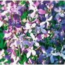 Maciejka (Matthiola Bicornis) nasiona