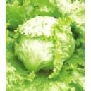 Sałata Krucha (lodowa) nasiona