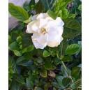 Gardenia jaśminowata (Gardenia Jasminoides) nasiona