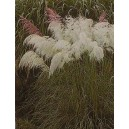Trawa Pampasowa Biała (Cortaderia Selloana) nasiona