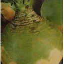 Brukiew Jadalna (Wilhelmsburska Lub Nadmorska) nasiona