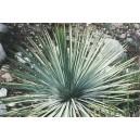 Juka (Yucca whipllei) nasiona