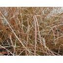 Turzyca Nowozelandzka (Carex Secta) nasiona