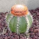 Melocactus (mieszanka Kolorów) nasiona