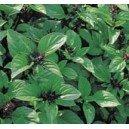 Bazylia o aromacie Cynamonu (Ocimum Basilicum) nasiona