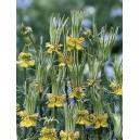 Czarnuszka Orientalna (Nigella Orientale) nasiona