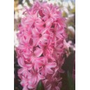 Hiacynt Różowy cebulki
