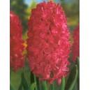 Hiacynt Czerwony cebulki