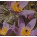 Sasanka Dzwonkowata Czerwono - Fioletowa (Pulsatilla Vulgaris) nasiona