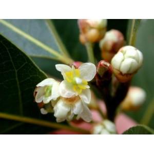 Laur (Laurus nobilis) sadzonki do 10 cm