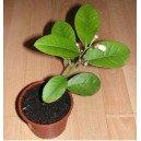 Cytryna Skierniewicka (Citrus Limon) 2 Letnia sadzonki