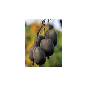 Kiwi, Aktinidia ostrolistna (Actinida Arguta) nasiona - wyprzedaż