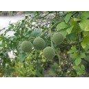 Pomarańcza Trójlistkowa 3 Letnia - Duża sadzonki