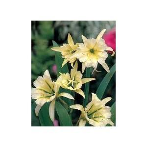 Ismena żółta (Hymenocallis - Sulphur Queen) cebulki