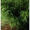 Bambus Ogrodowy (Fargesia Rufa) sadzonki