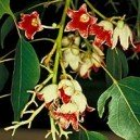 "Stulecian topololistny (Brachychiton Populneus ""Flame Tree"") nasiona"