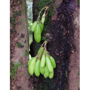 Bilimbi Owocujące (Averrhoa Bilimbi) nasiona