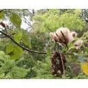Balsa (Ochroma Pyramidalis) nasiona