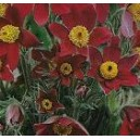 Sasanka Czerwona (Anemone Pulsatilla) nasiona