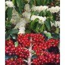 Kawa Arabska, Drzewko Kawowe (Coffea Arabica) sadzonki