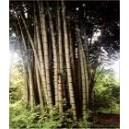 Bambus Olbrzymi (Dendrocalamus Giganteus) nasiona