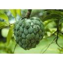 Jabłko Cukrowe (Annona Squamosa) 2 Letnie sadzonki