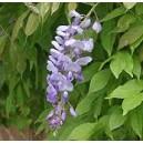 Wisteria Glicynia (Wisteria Sinensis) 1 roczne sadzonki