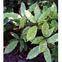 Aukuba Japońska (Aucuba Japonica)  sadzonki