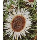 Dziewięćsił Bezłodygowy (Carlina Acaulis) nasiona