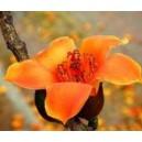 Drzewo Bawełniane (Ceiba Pentantra) nasiona
