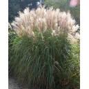 Miskant Cukrowy (Miscanthus Sacchariflorus) nasiona